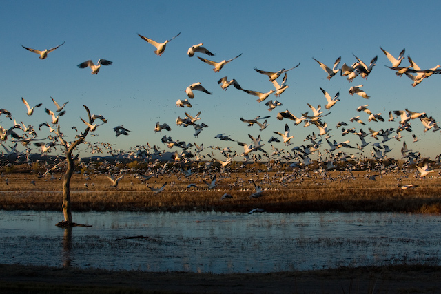 A Symphony of Birds: The Bosque del Apache