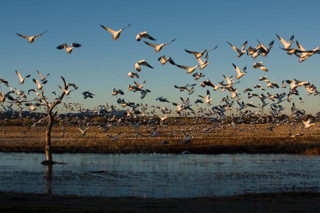 A Symphony of Birds: The Bosque del Apache